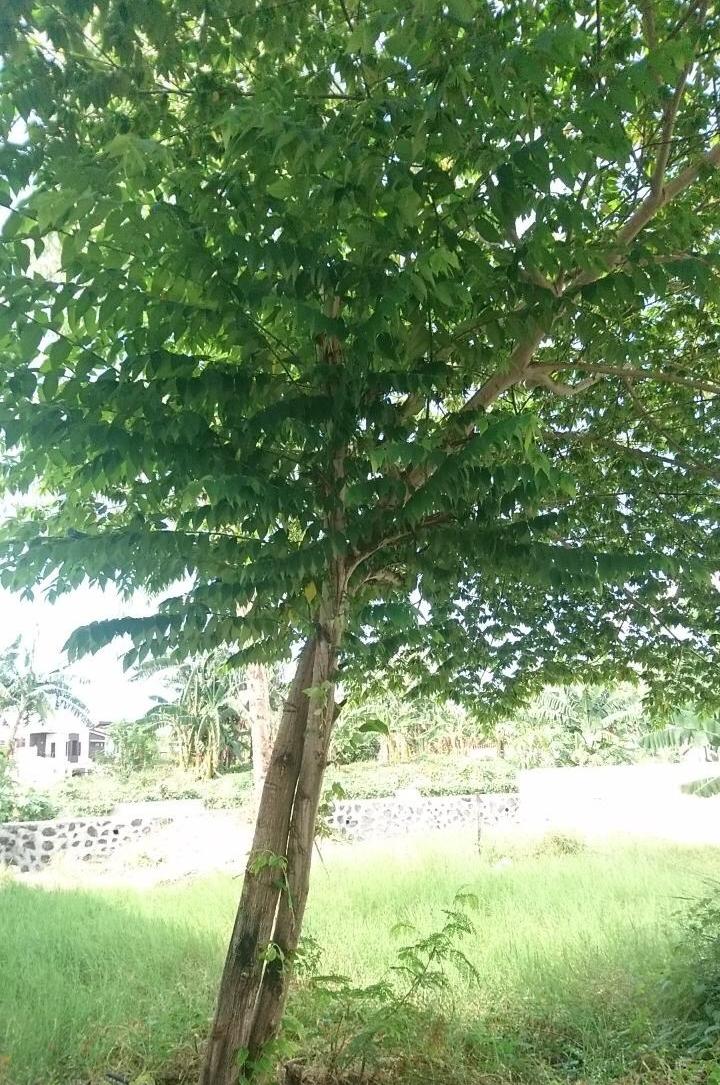 Aratiles Tree