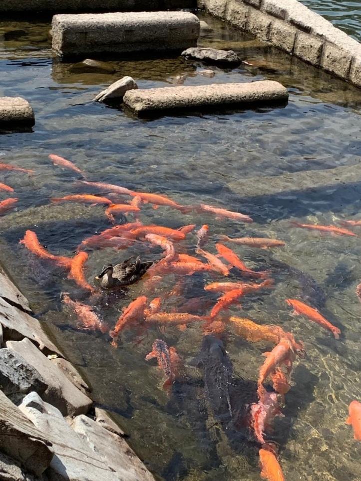 Fish and duck, Miyagawa River