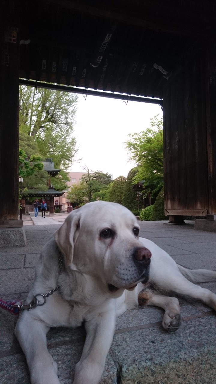Sweet labrador who called us to check out the temple