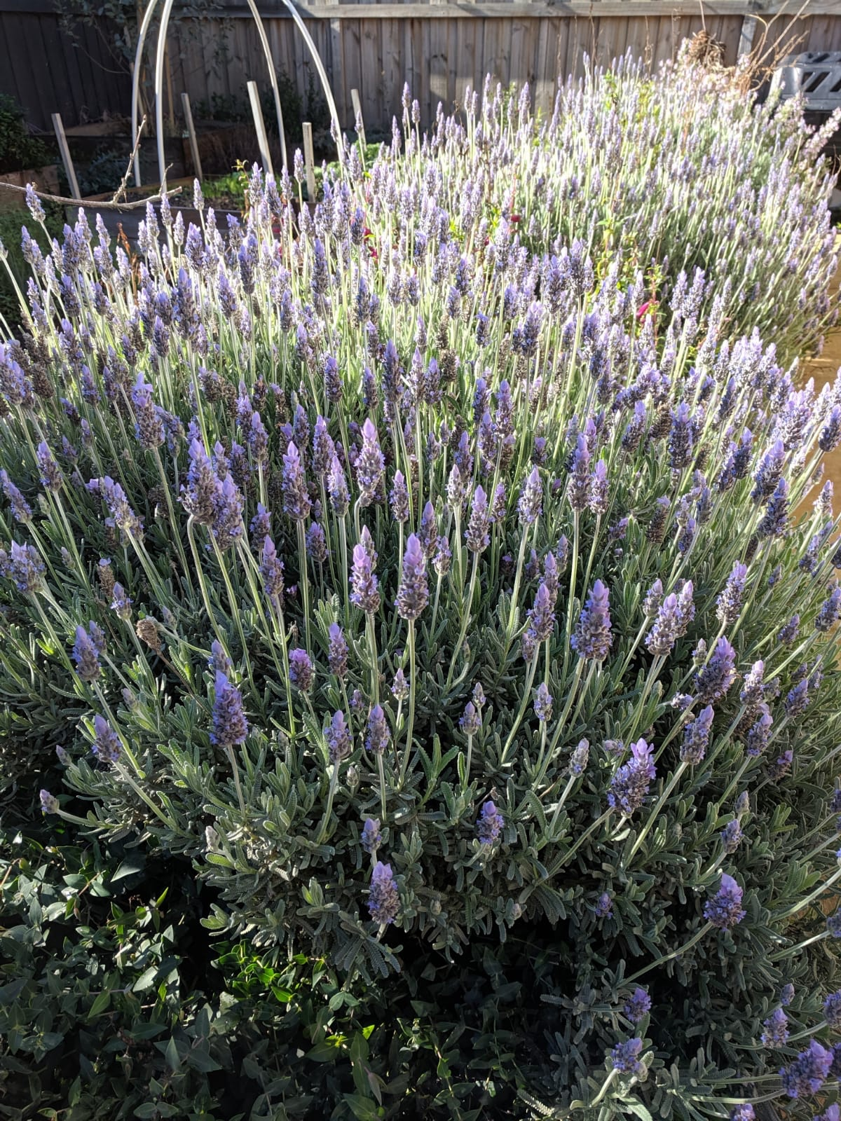Lavenders at my sister's garden
