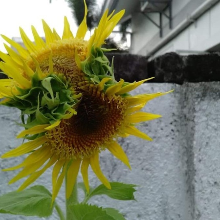 Conjoined Sunflowers